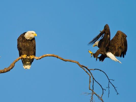 635833834838195459-Greenfield-Eagle-Watch-1