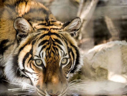 Zoo Knoxville's newest Malayan tiger, Arya, seen here