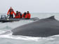Look for humpback, minke, fin, sperm and orca whales off of the White Continent's icy coast.