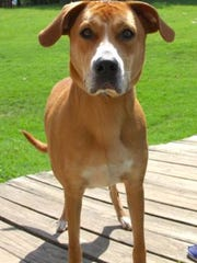 Izzy is a 1-year-old, 70-pound retriever/hound mix looking for a forever home.