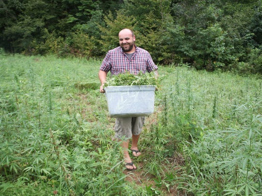 Andrew Fox carries a bin of harvested hemp plants.