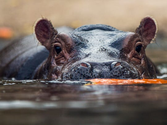 Fiona, the hippo, enjoys a pumpkin treat in the Hippo Cove with her parents Bibi and Henry Friday, October 6, 2017 at The Cincinnati Zoo & Botanical Garden. HallZOOween runs October 7-8, 14-15, 21-22, & 28-29 from noon to 5 p.m.Ê