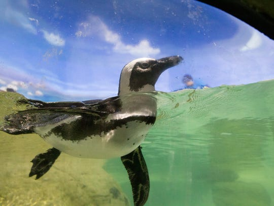 Point Pleasant Beach: NJ Shore Towns, the best photos from sunrise to Last Call. A penguin swims in his tank at Jenkinsons Aquarium.