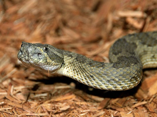El Niño could spur uptick in snakebites this winter
