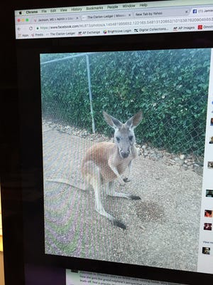 Boomer the kangaroo is seen in this photo of a Facebook post on a computer screen.
