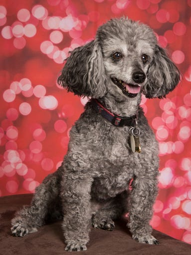 MARCH 11 – Sonny is a 9-year-old miniature poodle who