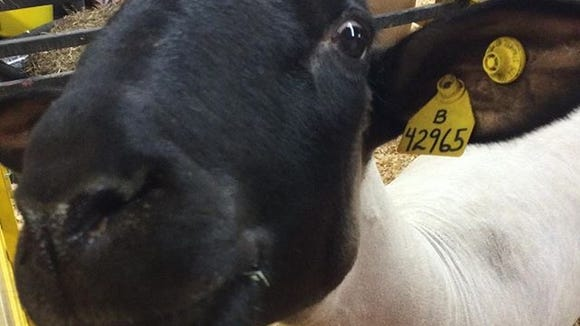 A sheep goes in for its close-up at the Augusta County Fair.