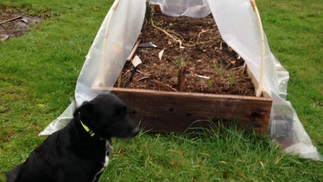 Cover a raised bed with plastic to dry it out for earlier spring planting.