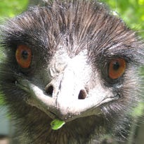 A curious emu at Animal Haven Zoo in Weyauwega greets visitors who stroll through a maze of country trails to see wildlife from around the world.