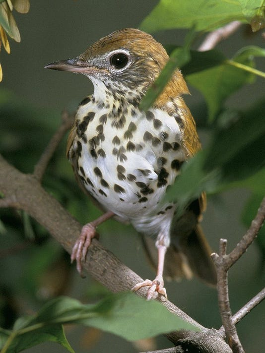 636507576032611802-Wood-thrush-2c-photo-credit-Wikipedia.jpg