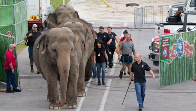 In this Friday, Jan. 8, 2016 photo, Asian elephants belonging to Ringling Bros. and Barnum & Bailey Circus, are lead from their enclosure to a rehearsal at the American Airlines Arena in Miami. The Ringling Bros. and Barnum & Bailey Circus is ending its elephant acts a year and a half early, and will retire all of its touring elephants in May. (AP Photo/Wilfredo Lee)