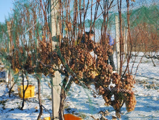 Grapes frozen on the vines.