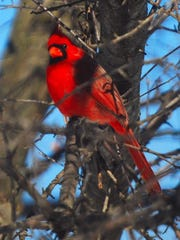 Cardinals are showy and welcome at bird feeders