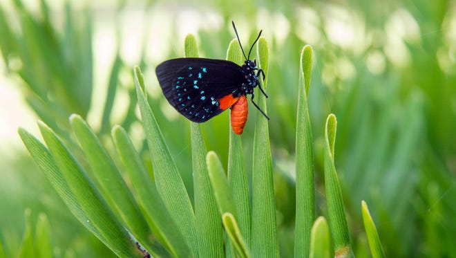 An Atala butterfly is seen Friday, August 4, 2017, resting on a coontie plant at Fort Pierce Inlet State Park. Atala butterflies, which were once thought to be extinct, are thriving in small pockets around South Florida, including Dynamite Point at Fort Pierce Inlet State Park.