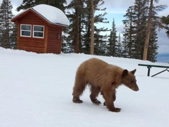 Heavenly the orphaned black bear was spotted wandering near the Heavenly Valley Ski Resort in March 2014.