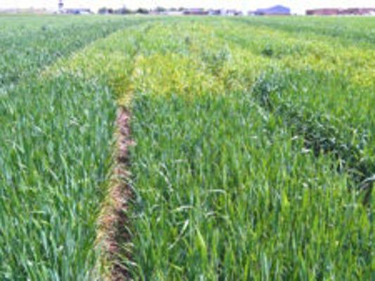 farm-triticum-3