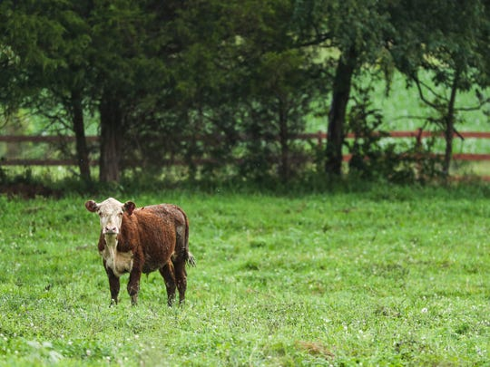 Hereford cattle in Southern Indiana have been prone