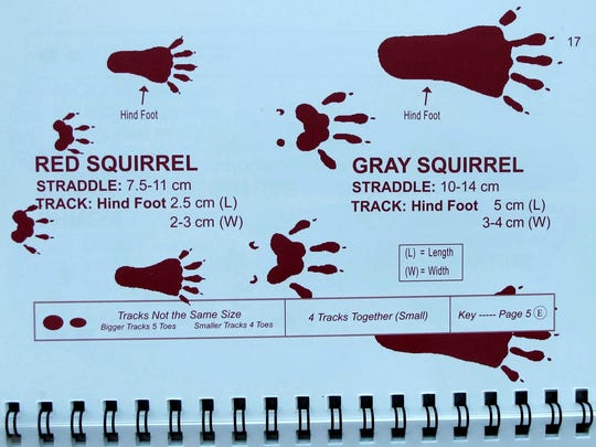 """A comparison of small-mammal tracks, from Lynn Levine's book, """"Mammal Tracks and Scat."""""""