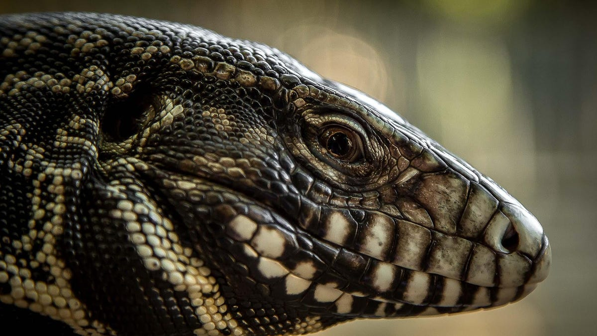 Opinion: Tegu lizards are making their way to the Upstate. Leapin' Lizards!