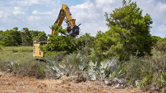 "Land clearing equipment known as the ""Brontosaurus"" mulches a sand pine near Tierra Del Sol in Jupiter, Tuesday, August 11, 2020. Palm Beach County's Department of Environmental Resources Management is spending the summer creating buffers around vegetation at a few north county natural areas to keep the risk of a severe wildfire low in Jupiter."