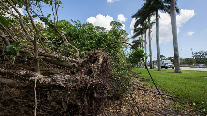 Damage to the ficus hedge caused by Hurricane Irma on the south side of Trump International Golf Club in West Palm Beach in September 2017.