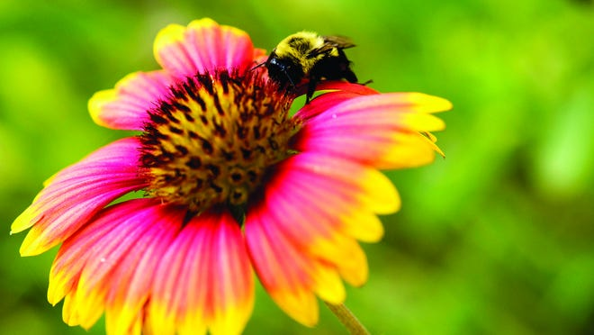 Blooms and bees doing their thing in the Horticulture Teaching Garden. {U of A System Division of Agriculture photo]