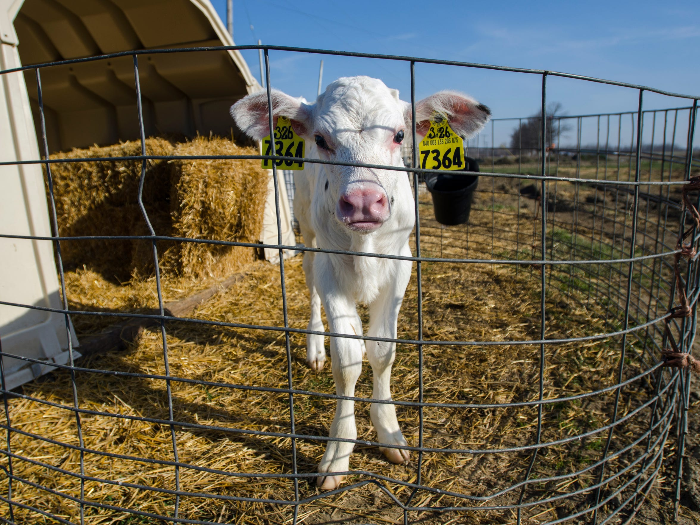 A newborn calf stands in her pen Monday, April 18, at the Bob Shinn Farm in Croswell.