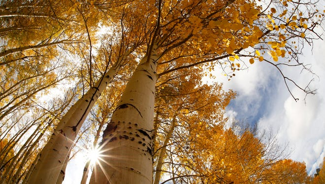 Aspen leaves are turning their autumn gold on the western slope of the San Francisco Peaks on Oct. 20, 2015 at the Hart Prairie in northern Arizona.