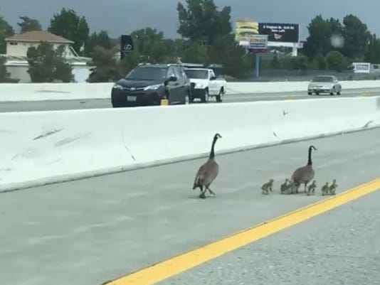 geese on freeway
