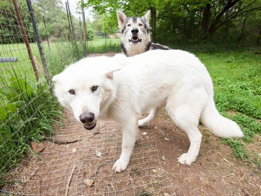 MNI 0517 WolfDogs13.jpg