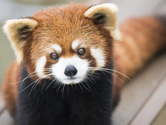 Red Panda On The Loose After Escaping From California Zoo