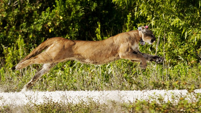 Florida panther 223 sprints after being released by biologists with the Florida Fish and Wildlife Conservation Commission in 2013. The male was the second recorded panther death of 2014 and died from pneumonia.
