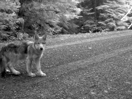 One of OR7's pups in southwestern Oregon. The number of wolves in Oregon increased last year to 77 from 64.