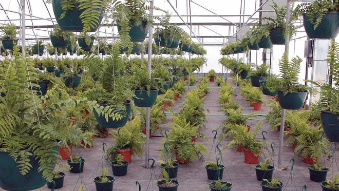 Ferns and foliage plants await sale in a greenhouse at Hickory Hill Nursery in Forest Hill.