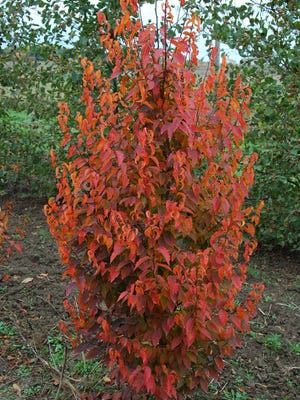 This year's woody ornamental plant of the year was awarded to Musclewood (Carpinus caroliniana). A beautiful small-sized tree that reaches 20-30 feet high.