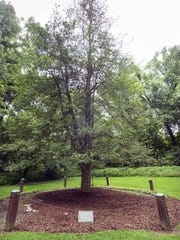 This American holly tree, on the grounds of Indian