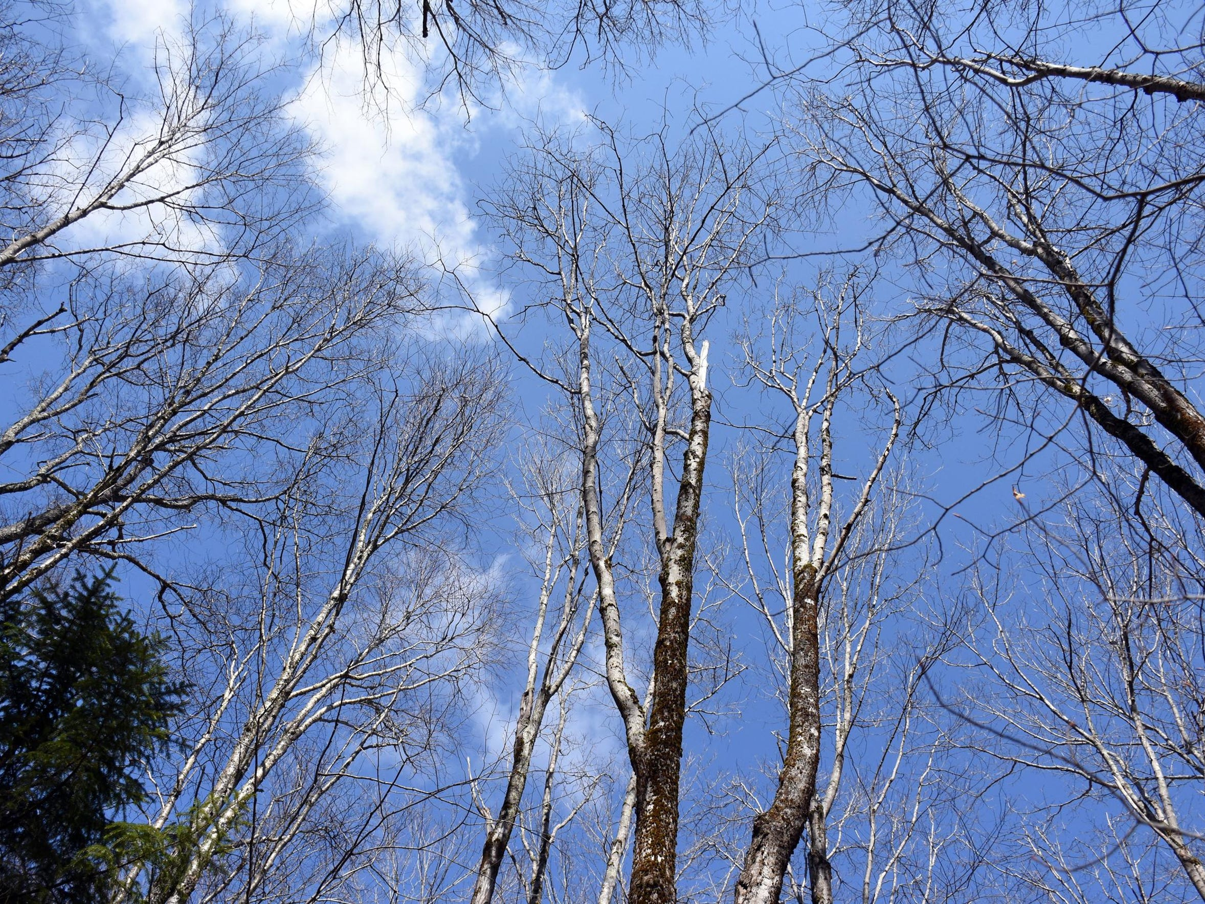 A grove of birch on Cheat Mountain, West Virginia,