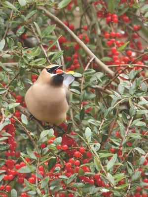 With their striking black mask, yellow tail tip and red droplets on their wings, cedar waxwings get and deserve plenty of ooohh's and ahhh's.