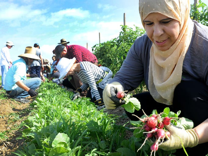 Amneh Qaralleh, helps pick radishes at the Labor Day