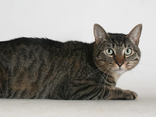 Willy is a 2-year-old, black and brown, male tabby