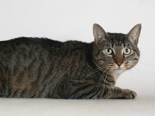 Willy is a 2-year-old, black and brown, male tabby domestic shorthair mix. He is very friendly. All feline and canine adoptions include spaying or neutering, vaccinations and a microchip. Visit Haven Humane Society, 7449 Eastside Road, Redding. Call 241-1653. Go to www.havenhumane.net.