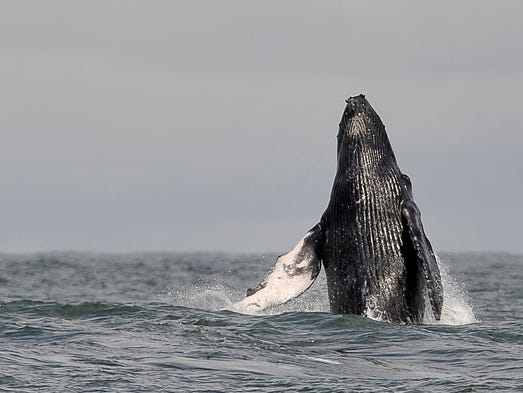 Humpback whales are among marine life that global warming will impact.<br /> <br /> A new report predicts climate change will render certain species extinct. Coral reefs will be harmed and consequences could be dire to fisheries and livelihoods.