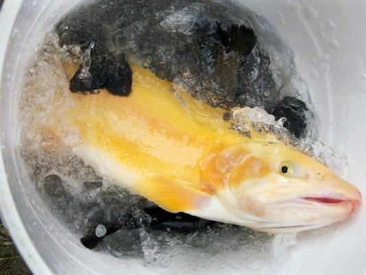 A golden rainbow trout flops around in a bucket on the way to the stream during trout stocking on North Branch Muddy Creek on Monday. Local anglers and conservationists with the Pennsylvania Fish and Boat Commission stocked the southeastern York County stream in preparation for the upcoming trout season.
