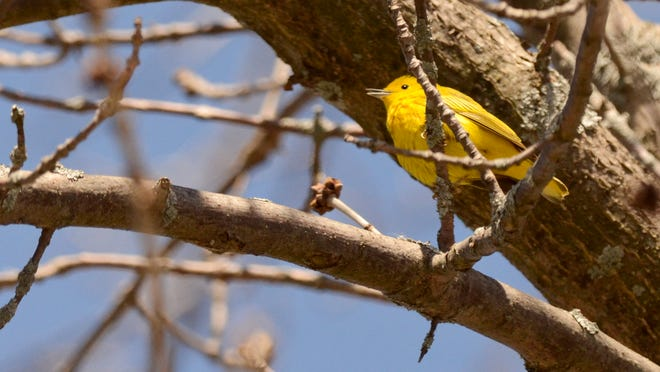 A yellow warbler sings in a tree along the Little Manitowoc River.