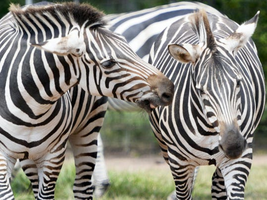 Zebras nip at each other at Lake Tobias Wildlife Park in Halifax on Friday. The Dauphin County park is hosting its annual Founders Day from 11 a.m. to 3 p.m. on Sept. 19. There are many other family-friendly zoo events happening this fall near York.