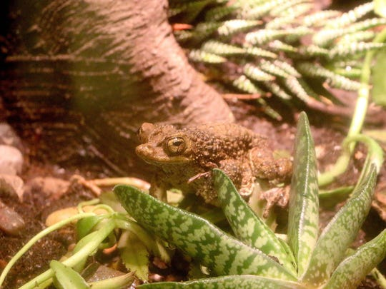 The Puerto Rican Crested toad.