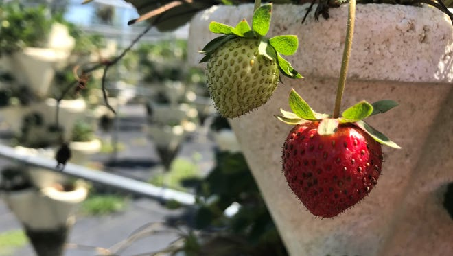 Strawberry season is winding down at Wichmann Farms, but there's still plenty of fresh produce growing on the hydroponic towers.