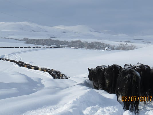 Cattle outside East Glacier