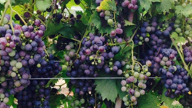 Grapes soak up the sun at Layton's Chance Vineyards and Winery near Vienna.