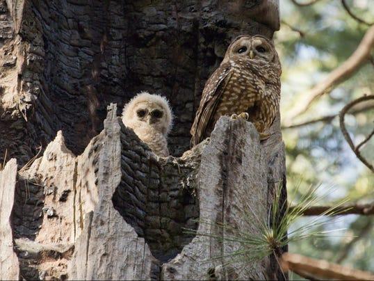 636068301281221683-WSF-0812-owls.jpg